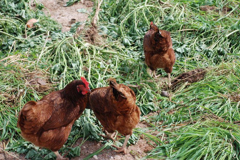 Chickenfiesta